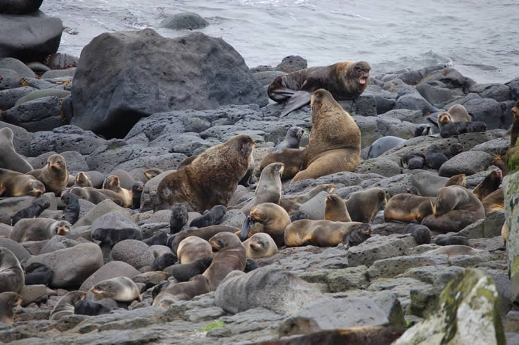 Fur seal rookery on St. Paul Island, Pribilofs, Alaska
